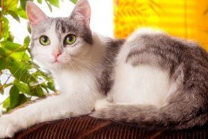 races de chat domestique