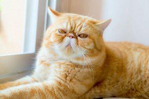 races de chats exotiques
