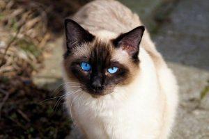 chat siamois blanc