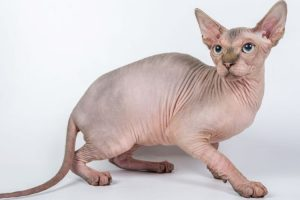 chat sphynx caractere
