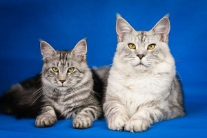 maine coon taille