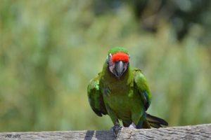 les oiseaux psittacidés