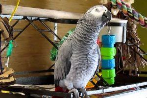 que mange un perroquet gris d'afrique