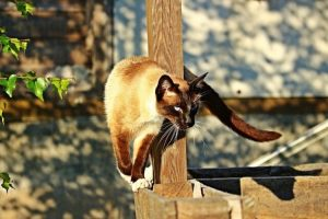 chat siamois croise