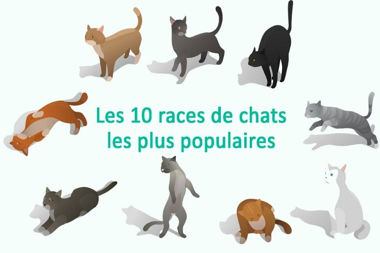 le chat le plus populaire du web