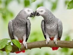 Faits sur les perroquets gris d'Afrique