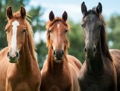 Les races de chevaux les plus populaires