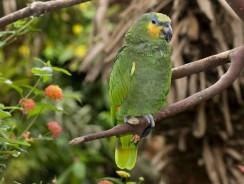 Espèces populaires de perroquets d'Amazonie