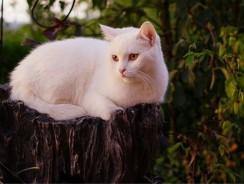 Tout savoir sur les Chats blancs